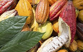 Cocoa field